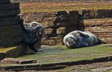 grey-seals