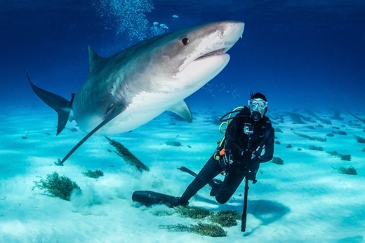 Kathryn at close quarters with a large tiger shark in the Bahamas
