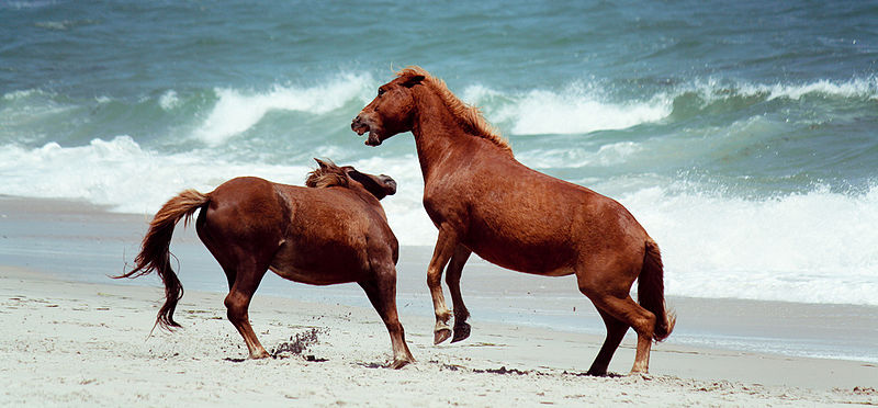 Assateague Island: Camping with Wild Horses