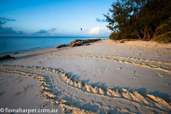 Turtle tracks on Lady Musgrave Island beach