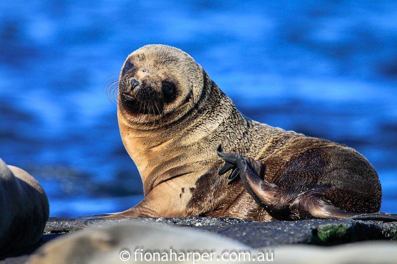 sea lion pup, Galapagos Islands