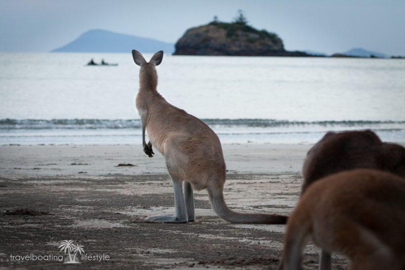 Cape Hillsborough Mackay, Queensland | wallabies, kangaroo | Fiona Harper travel writer
