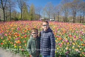 Blooming tulips, Netherlands