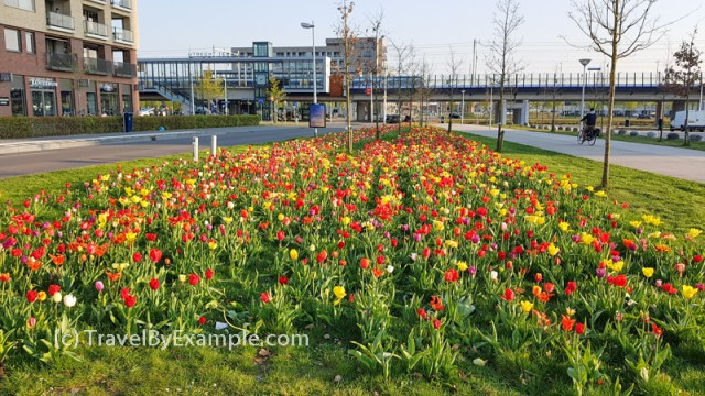 Tulips blooming in our neighborhood in Utrecht (mid April)