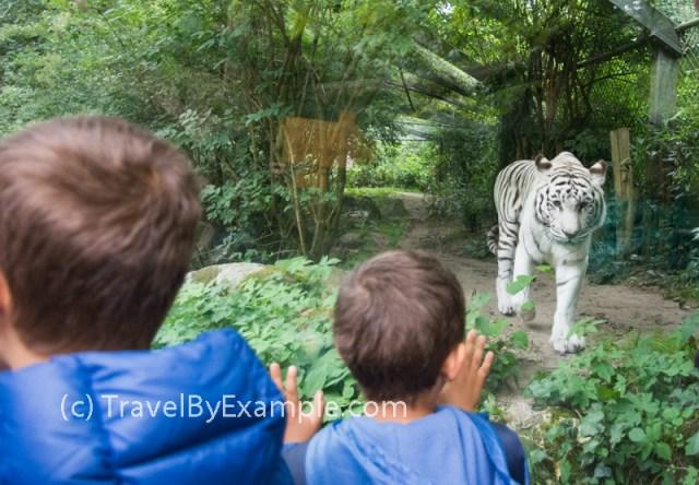 Rare white tiger in Amersfoort's DierenPark