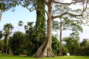 Aburi Botanical Gardens Kapoktree