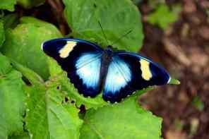Schmetterling in Ghana