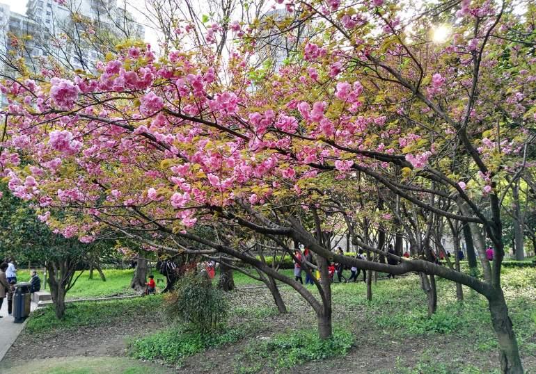 פריחה בפארק ש'ו-ג'יה-חווי (צילום: נוגה פייגה)