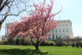 Cherry blossom in the Capitol grounds