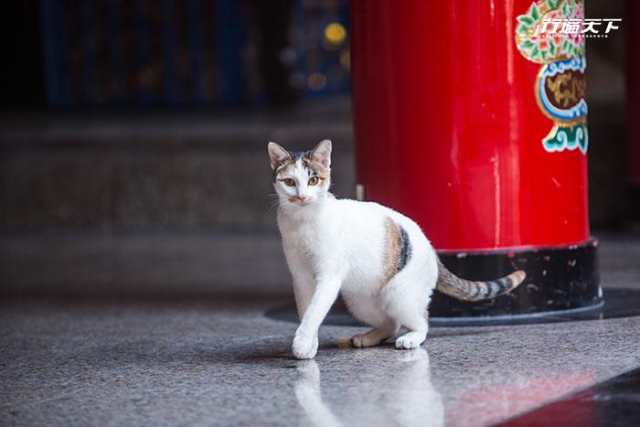 三重「貓廟」義天宮  貓咪聽腳步就知道要上香