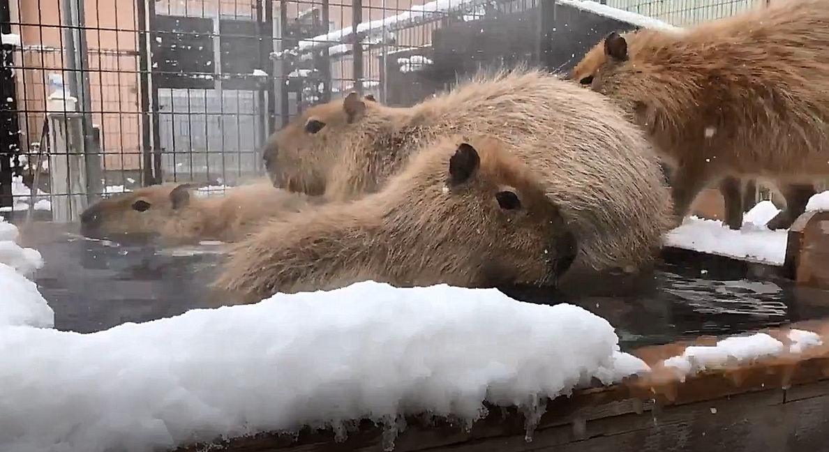 【日本.癒】悶壞了 來看水豚君雪地泡湯好療癒