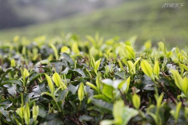 桃園,福源茶廠,龍潭,台茶18號,紅玉紅茶