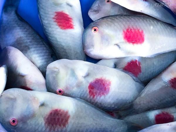 成功漁港,新港漁港,漁獲叫賣,旗魚,方頭魚,馬頭魚
