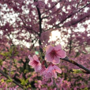 櫻花,淡水,天元宮,防疫,花況