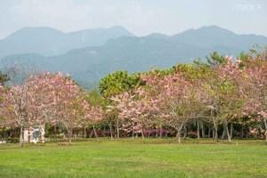 花旗木,平地櫻花,鹿鳴酒店,台東