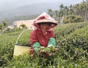 ▲跟著經驗老道的採茶阿嬤摘取一心二葉,飽覽太興地區美麗起伏山巒美景。