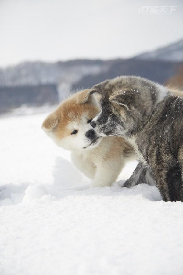 秋田,秋田犬,日本旅遊,體驗旅遊,秋田散步,白神觀光