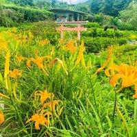 台北景點|不用去花東 竹子湖上2處金針花海綻放還有乘車套票不到100元