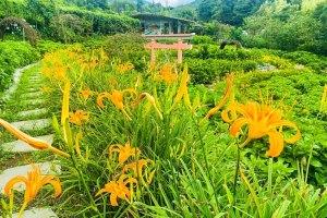 金針花季,竹子湖,陽明山