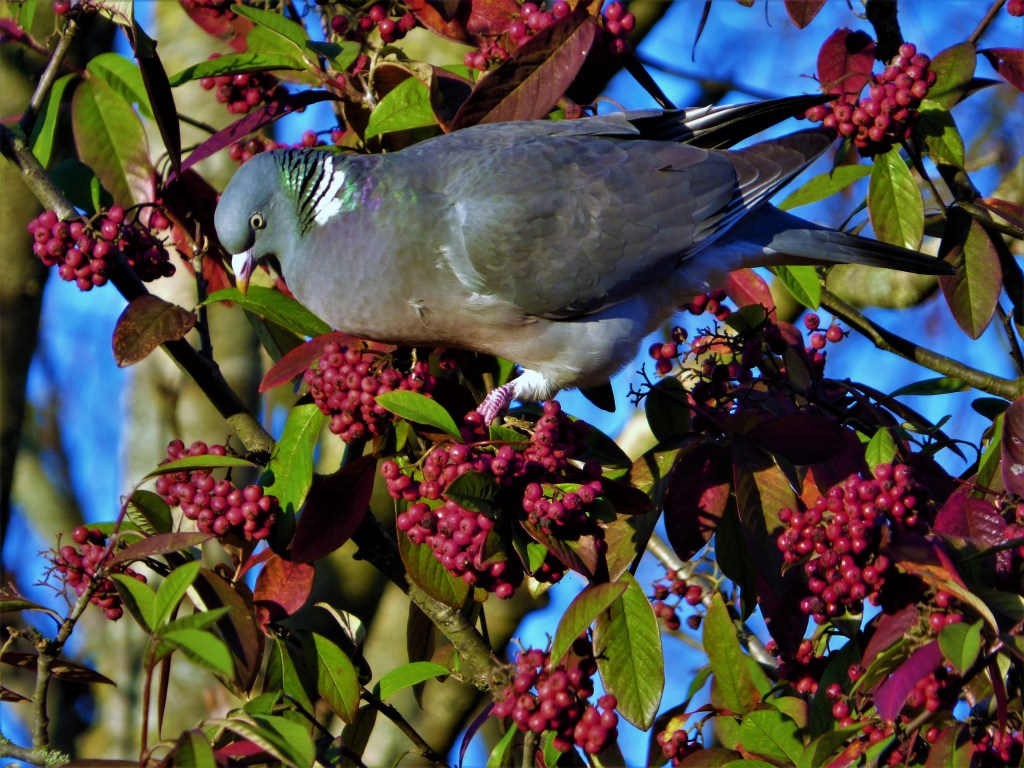 pigeon berries hampshire river itchen