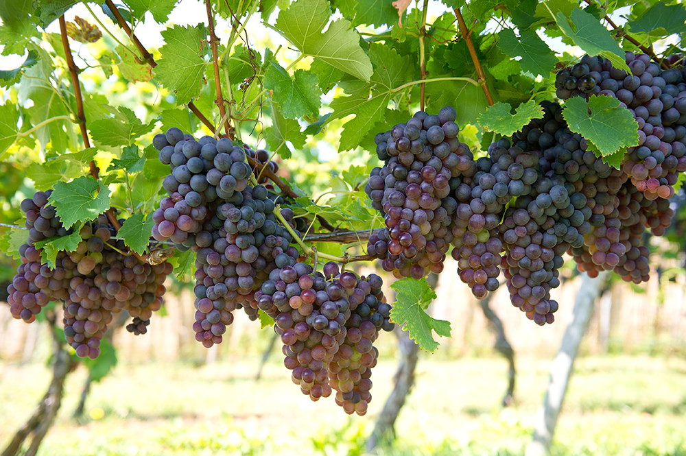 Tannins in red wine are due to the grape skins being included, resulting in a very particular combination of bitterness and dryness in the mouth