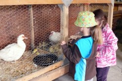 Agricultural experience for the kids in Storybook Farm, Carp Fair.