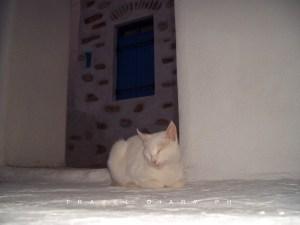 Un bianco gatto greco a Koufonissi