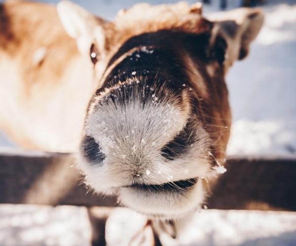 Una renna in Lapponia