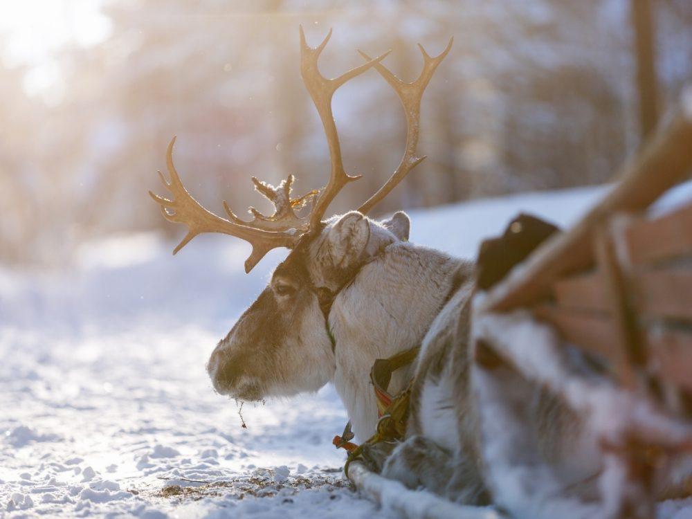 Primo piano di una renna