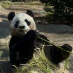 上野動物園のパンダ特集。混雑を避けて見る時間帯をご紹介。