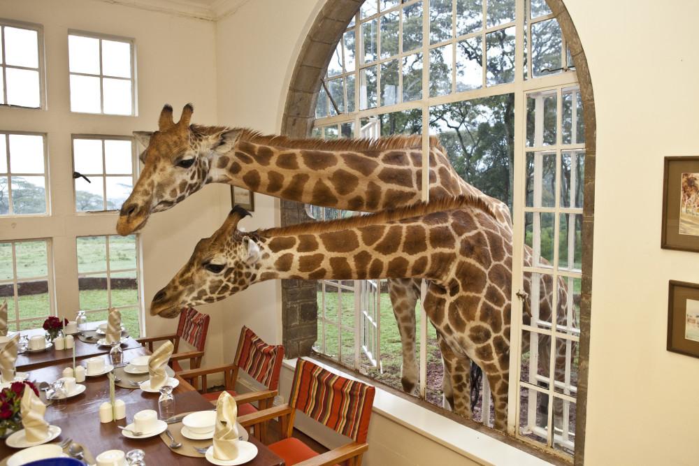 Giraffes peeking through window.