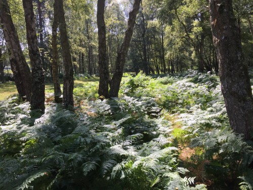 Ferns glistening in the sun. Shatterford Walk, New Forest
