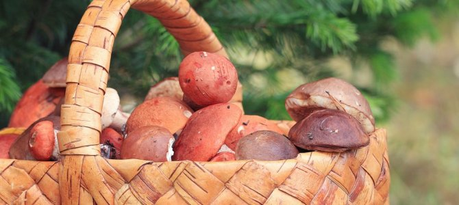 It's mushroom picking time in Russia!