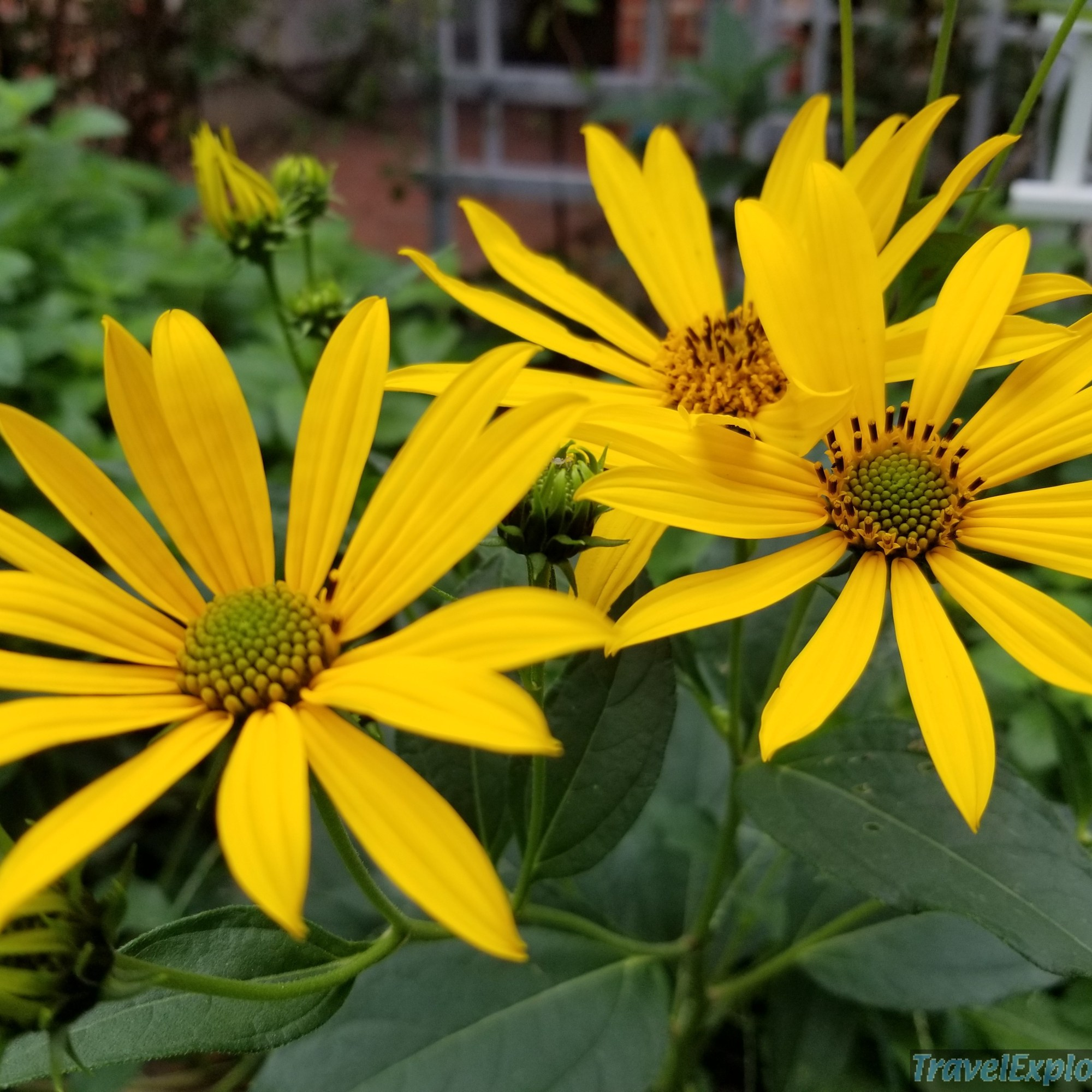 Oxeye Sunflowers