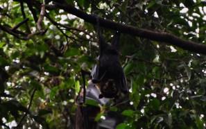 Fruit bats!