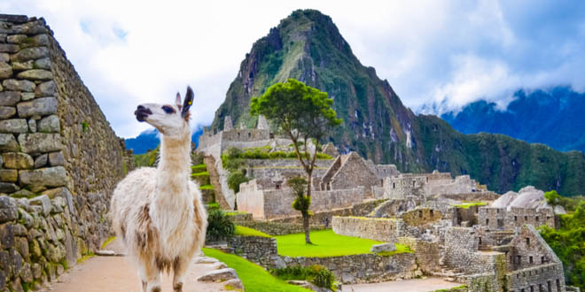 White lama standing in Machu Picchu lost city ruins in Peru. If you are there, you can't miss the chance to eat in Cusco.