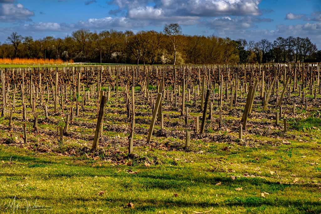 Grapes fields for wines at the Chateau Margaux estate at Margaux-Cantenac