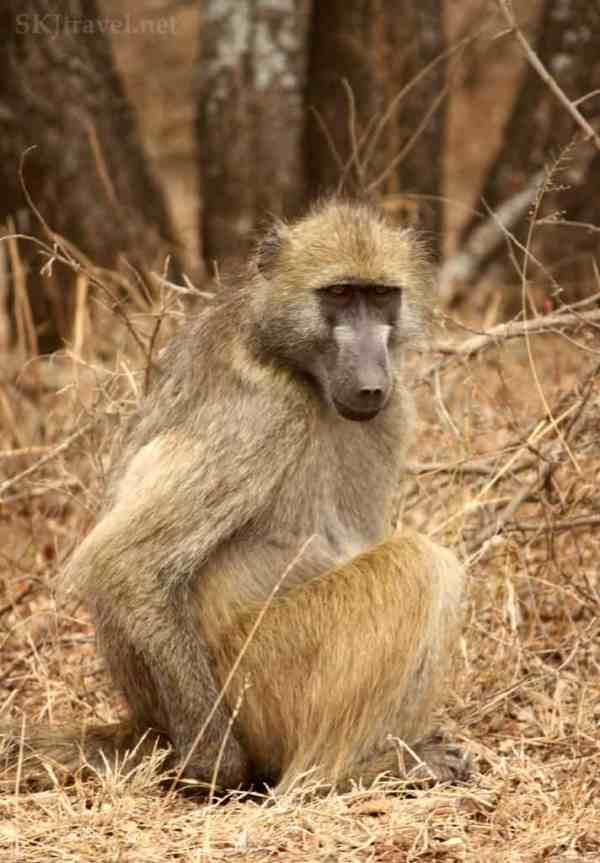 Baboon, South Africa