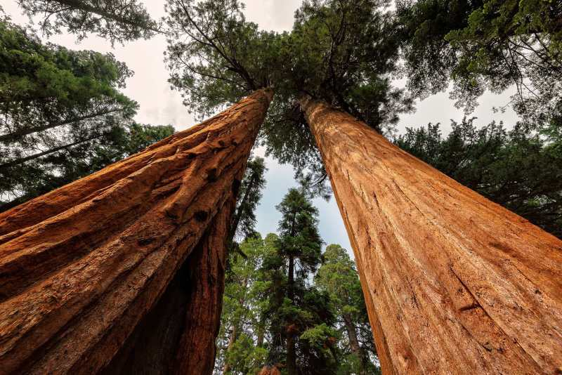 Giant sequoia trees in King's Canyon National Park