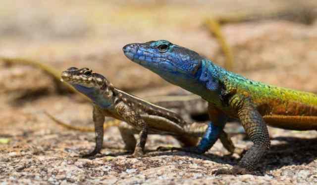 zimbabwe colorful lizard