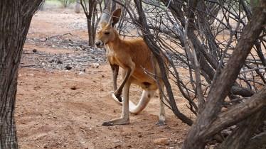 A curious kangaroo, Australia