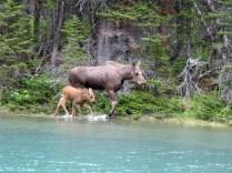 Moose on Josephine Lake