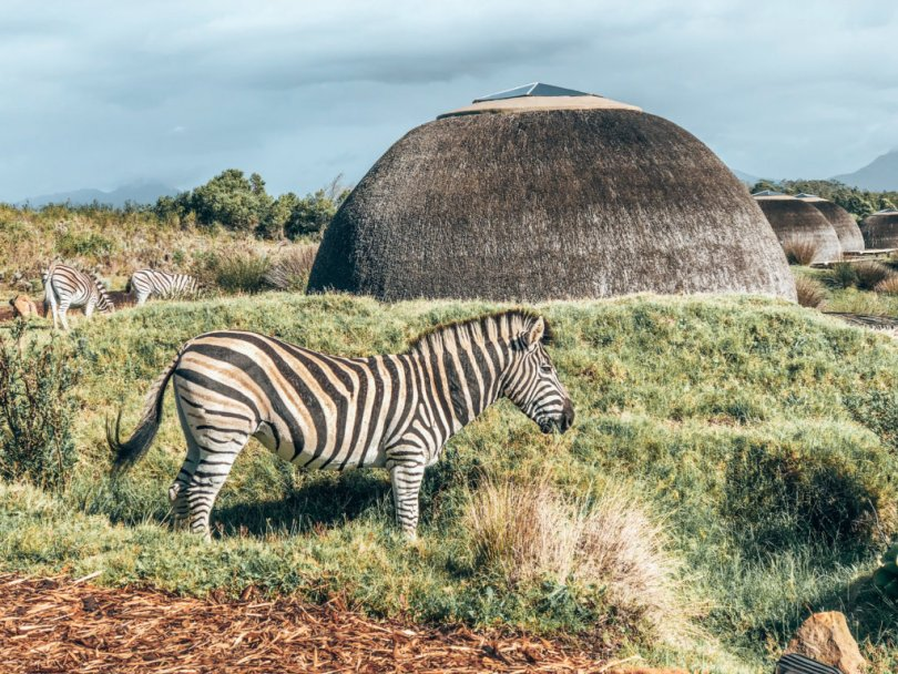Zebras gathered around our villa in Africa!