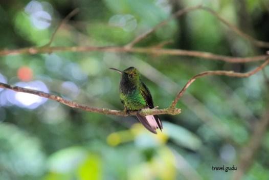 colibrì Costa Rica