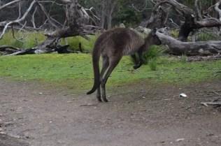 Canguro a Flinder Chase