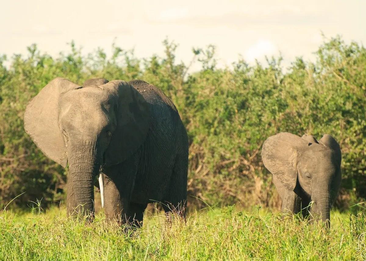 Elefanti, Selous Game Reserve, Tanzania