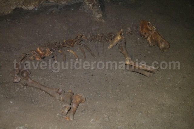 Ursus spelaeus bones in Comarnic cave