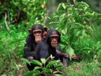 Frequently Visited Uganda Chimpanzee Trekking Safari Destinations