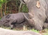 Another baby Rhino born at Ziwa Rhino Sanctuary -Uganda Safari News