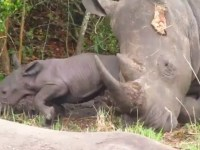 Another baby Rhino born at Ziwa Rhino Sanctuary -Uganda Safari News